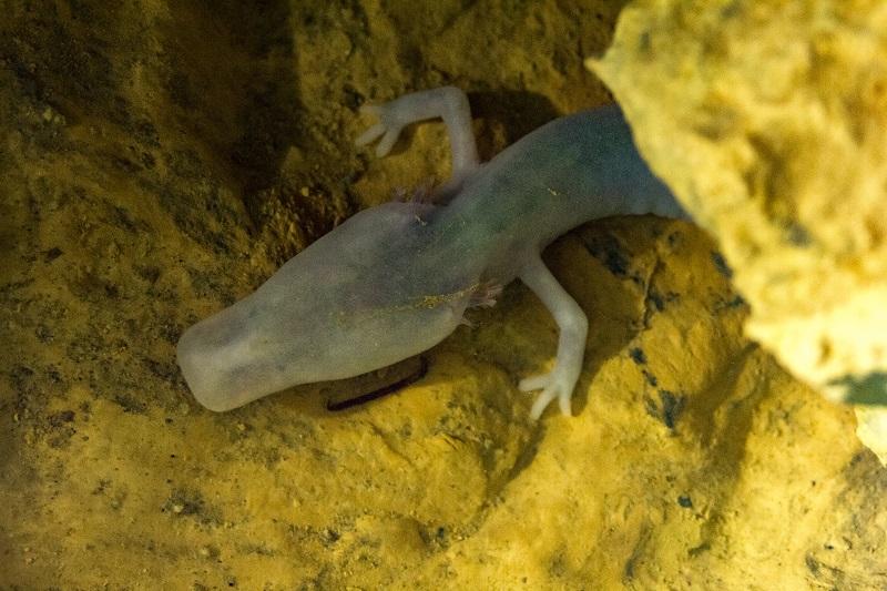 L'Olm o il pesce umano, La Grotta di Postumia